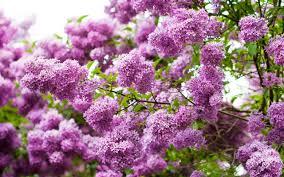 cây lilac