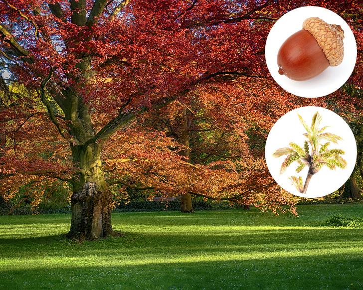 Cây sồi đỏ