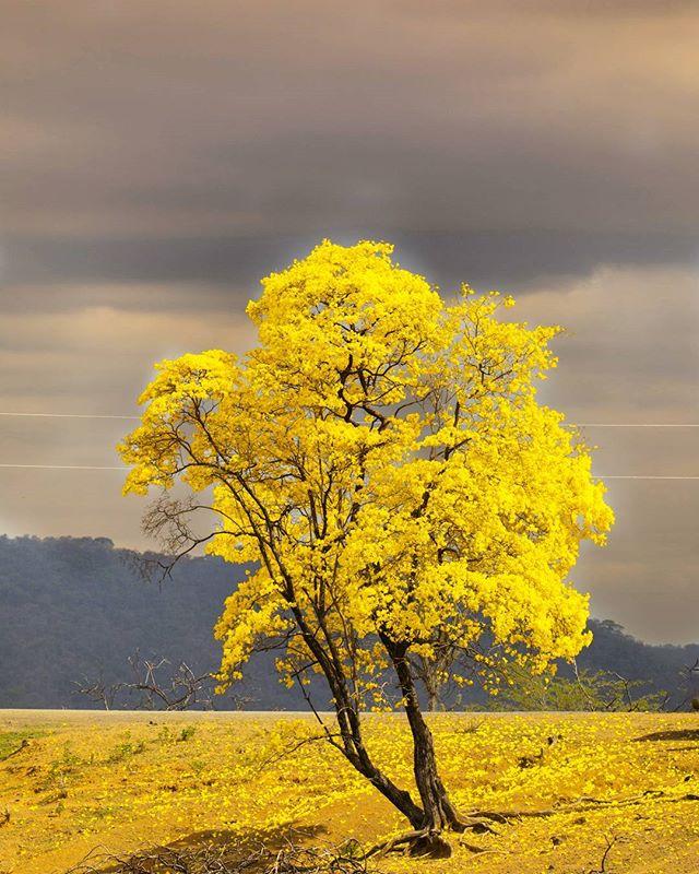 cây cảnh đẹp cây guâycan