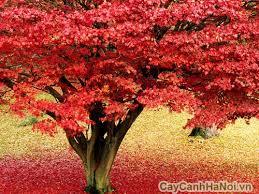 cây cảnh đẹp cây phong