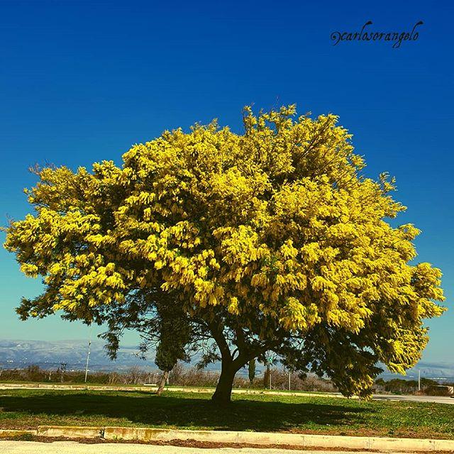 cây mắc cỡ