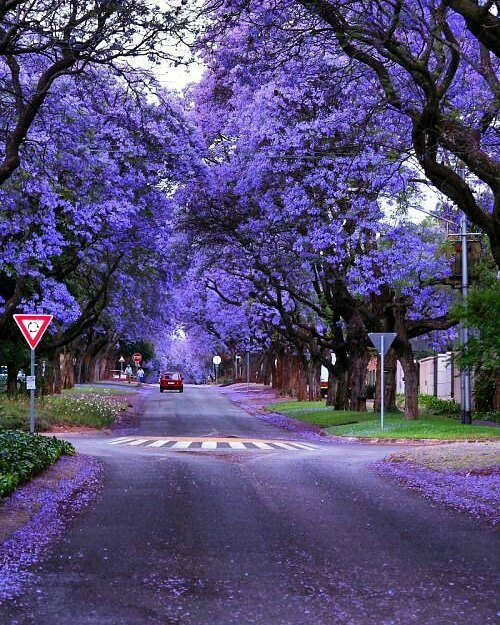 cây cảnh đẹp cây jacaranda