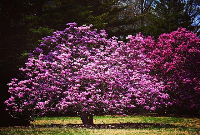 cây cảnh đẹp hoa mộc lan