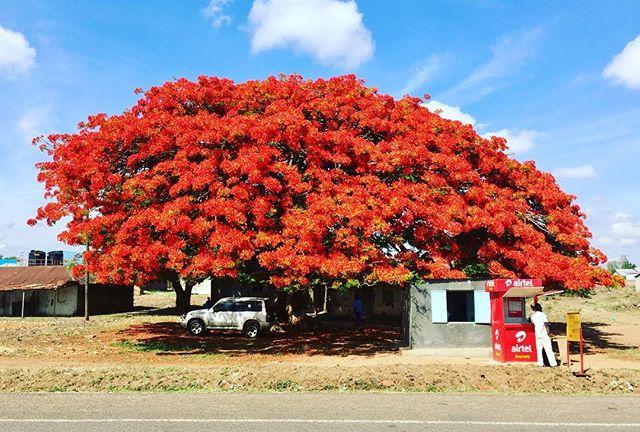 cây cảnh đẹp cây hoàng gia phượng vĩ