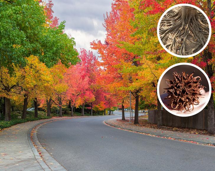 10 loại cây không nên trồng - Cây Sweetgum