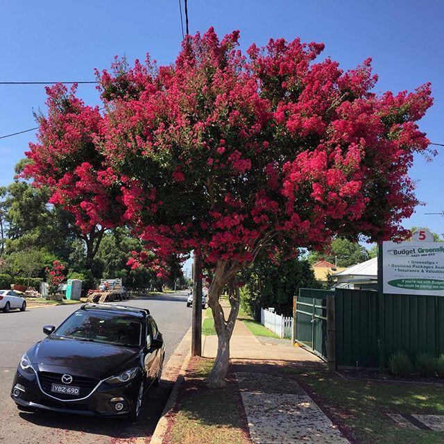 cây chi bằng lăng